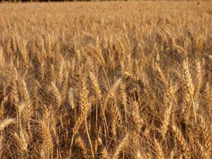 Buhr Gruppe Weizen